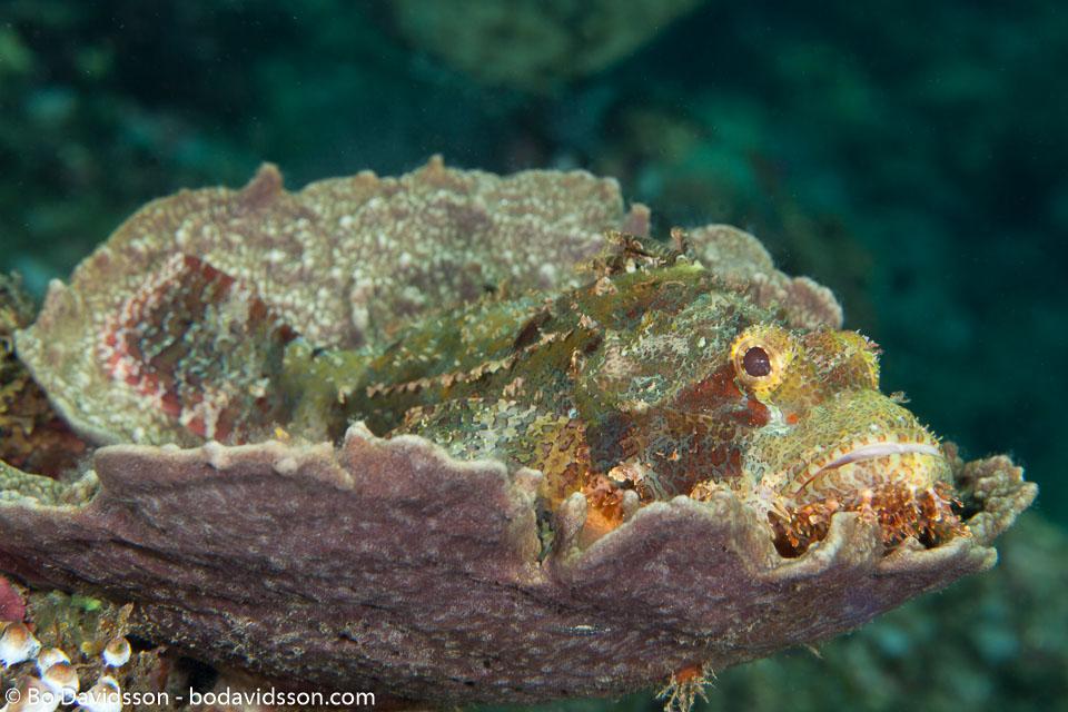BD-130402-Tulamben-9100-Scorpaenopsis-oxycephala-(Bleeker.-1849)-[Caledonian-devilfish].jpg